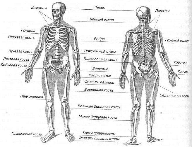 скелет человека в картинках с названиями костей универсальный цветок