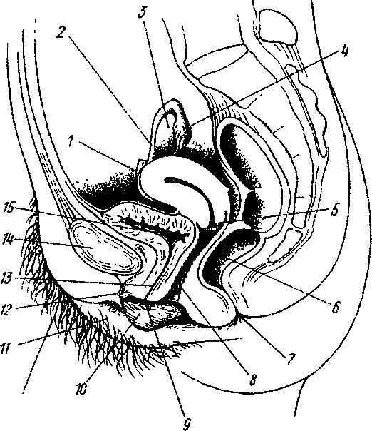 Анатомическая схема анального акта в разрезе — img 5